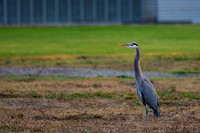 Great blue heron at the NASA Ames Research Center